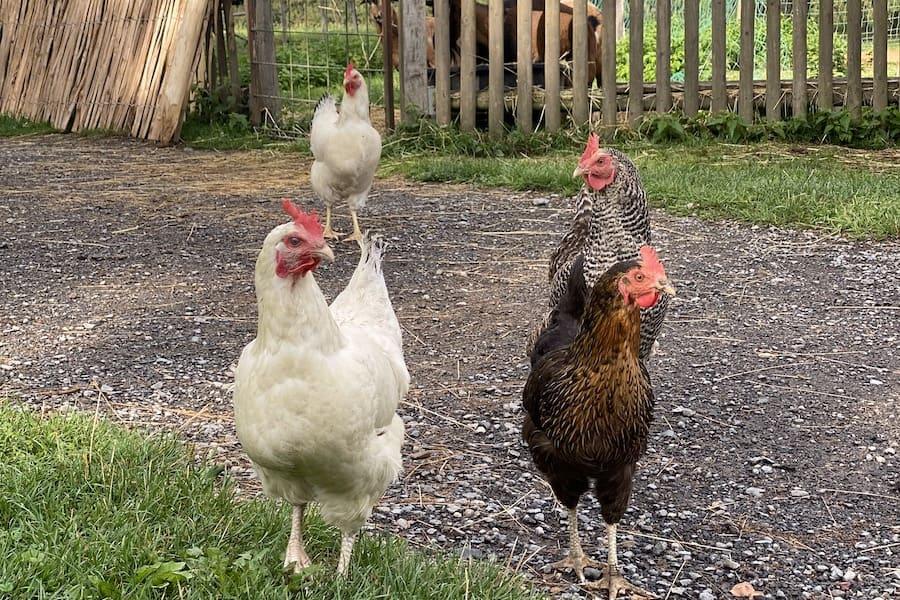 Birkenhof Hühner, unsere Streicheltiere auf dem Kinderbauernhof warten auf die Fütterung